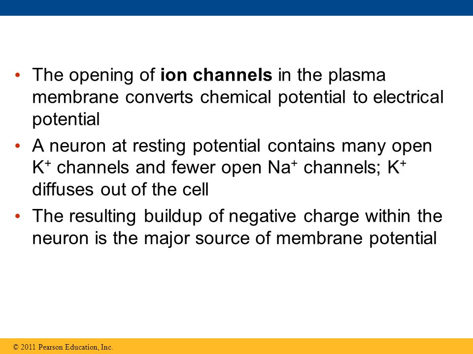 The opening of ion channels in the plasma membrane converts chemical potential to electrical potential