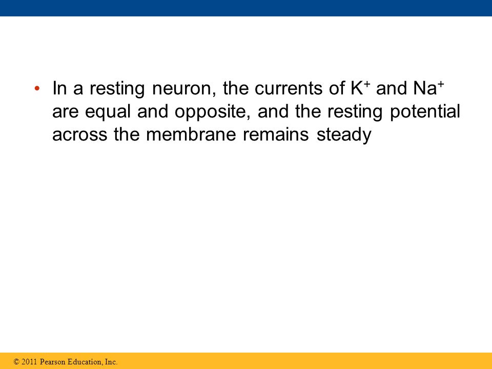 In a resting neuron, the currents of K+ and Na+ are equal and opposite, and the resting potential across the membrane remains steady