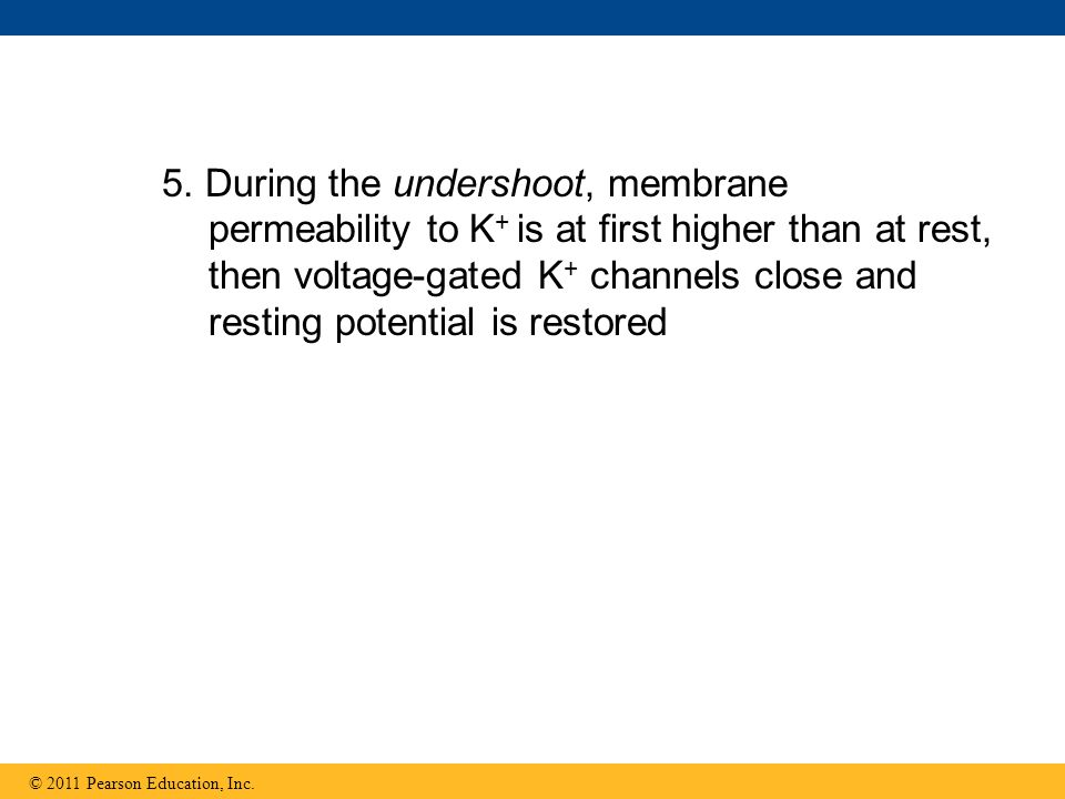 5. During the undershoot, membrane permeability to K+ is at first higher than at rest, then voltage-gated K+ channels close and resting potential is restored