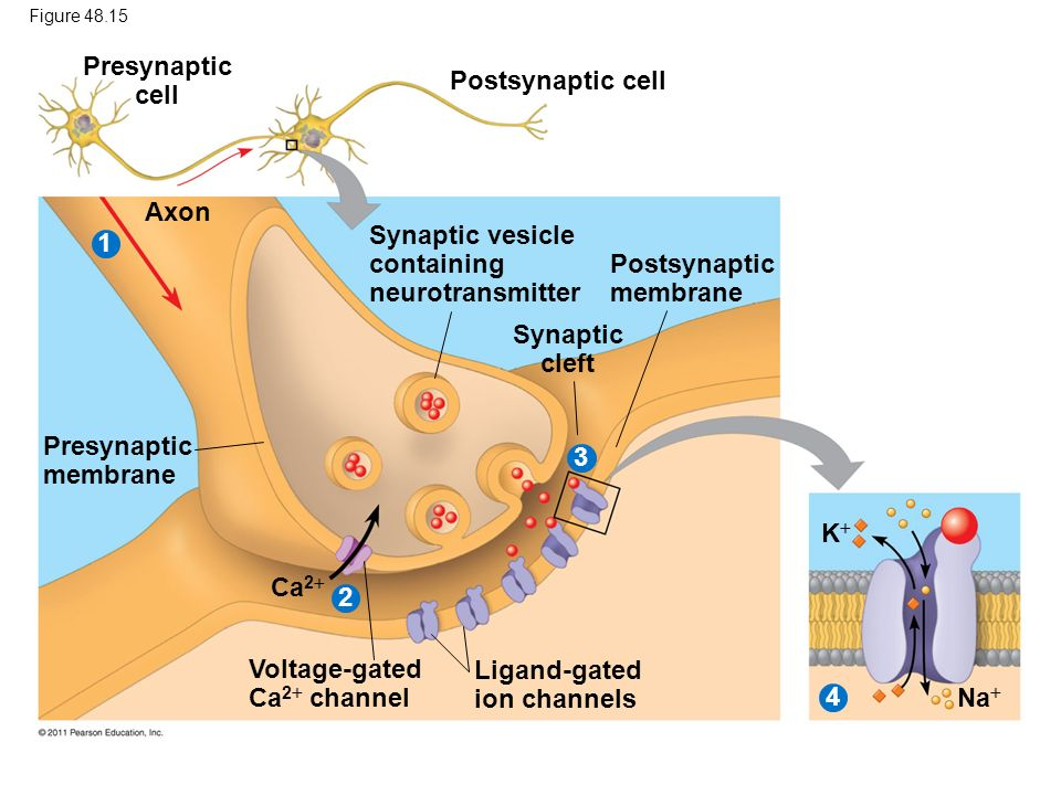 Presynaptic cell Synaptic cleft