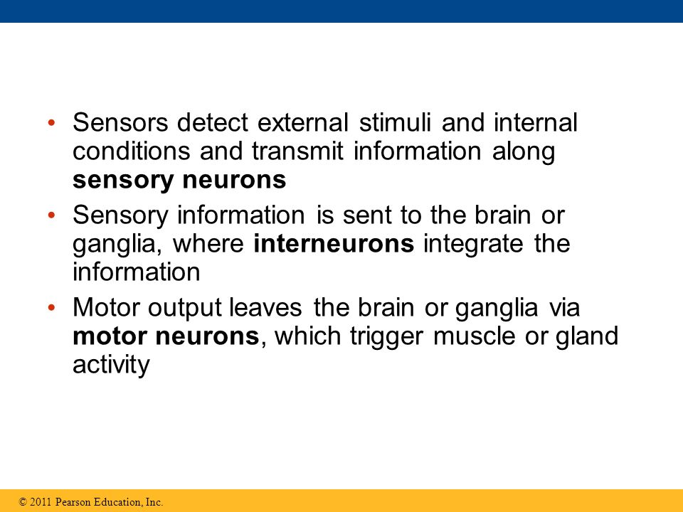 Sensors detect external stimuli and internal conditions and transmit information along sensory neurons