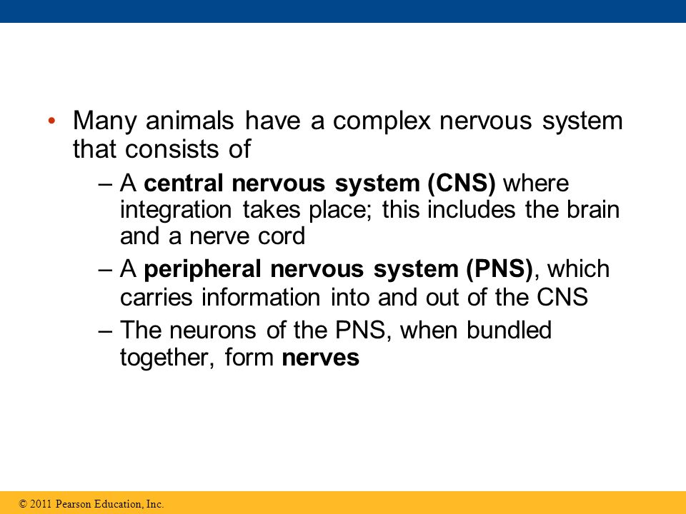 Many animals have a complex nervous system that consists of