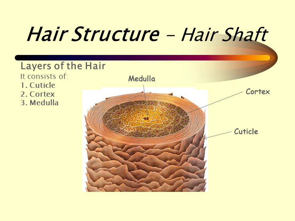 Hair Structure Hair Shaft Ppt Video Online Download