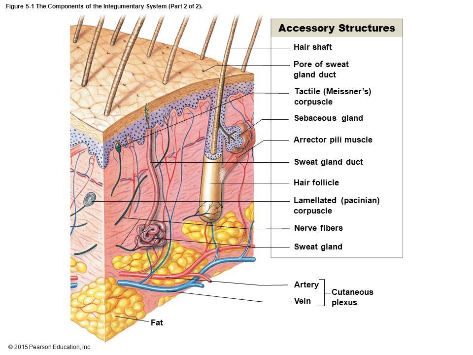Parts Of Integumentary System Vatozozdevelopment