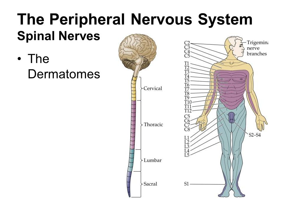 The Peripheral Nervous System Spinal Nerves