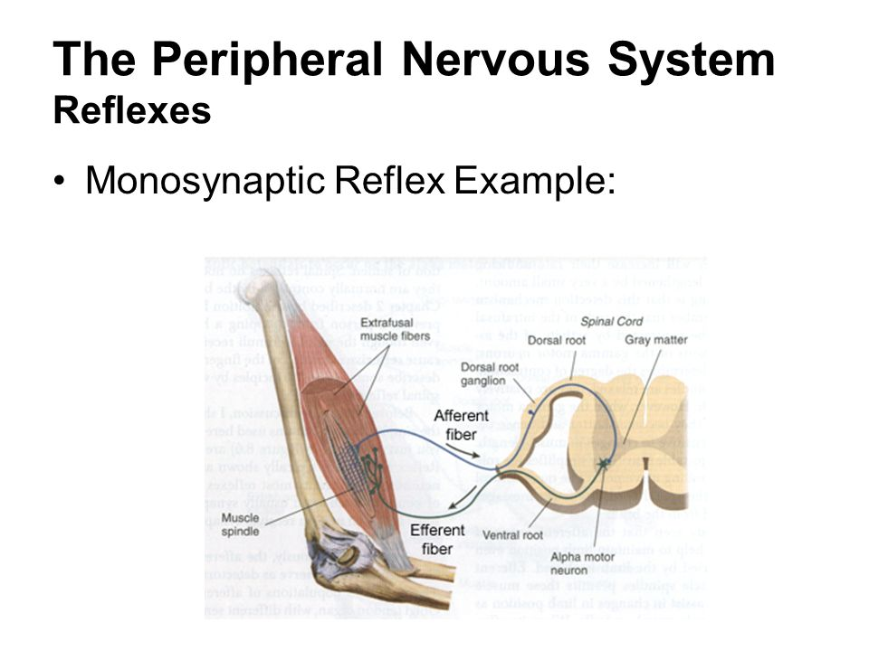 The Peripheral Nervous System Reflexes