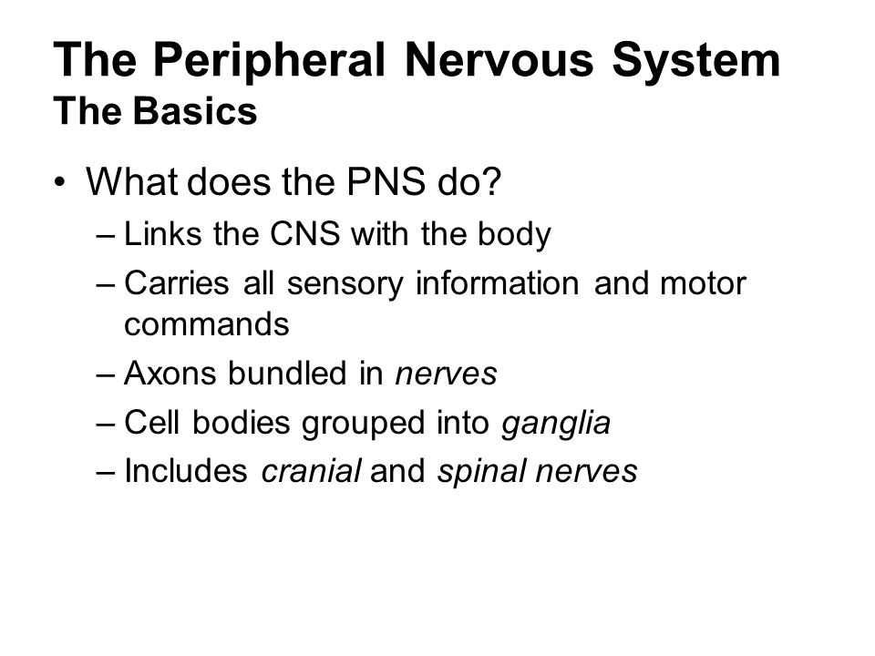 The Peripheral Nervous System The Basics