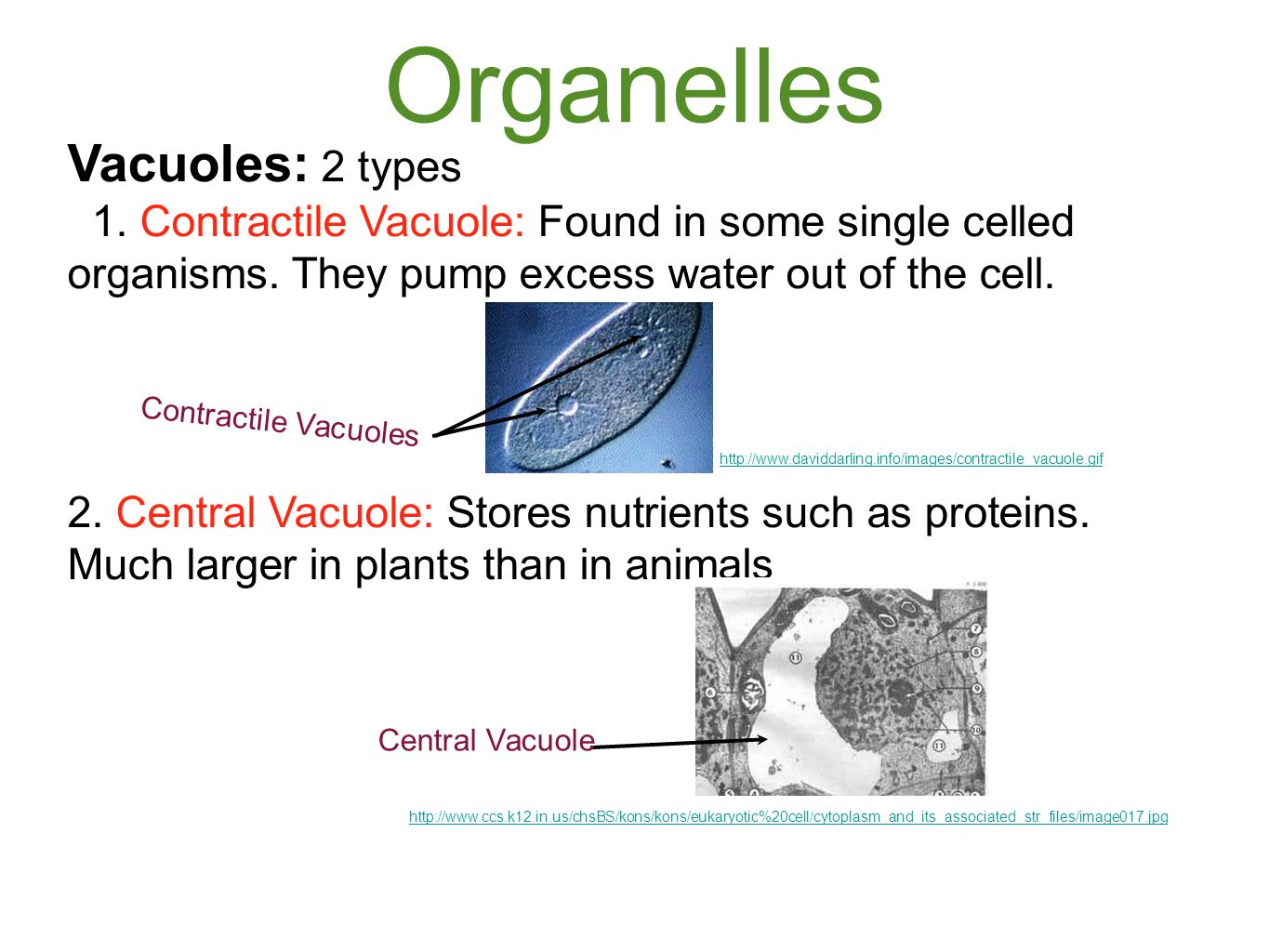 relationship between mitochondria and vacuole