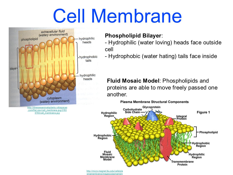 cells ppt video online download