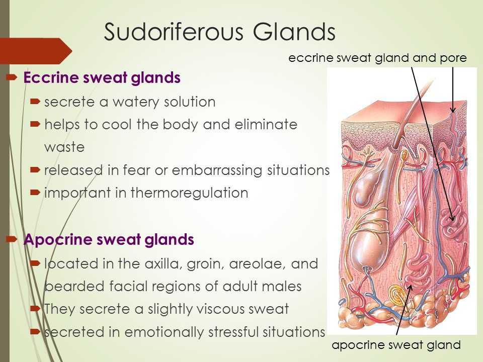 Eccrine Sweat Glands Kubreforic