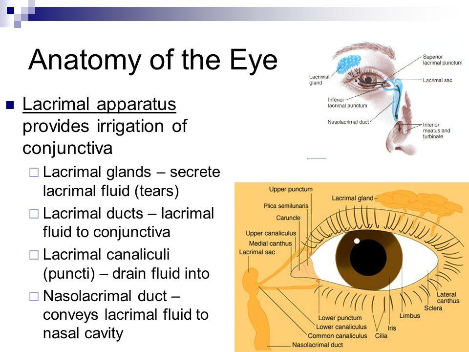 Anatomy of lacrimal apparatus 2056992 - togelmaya.info