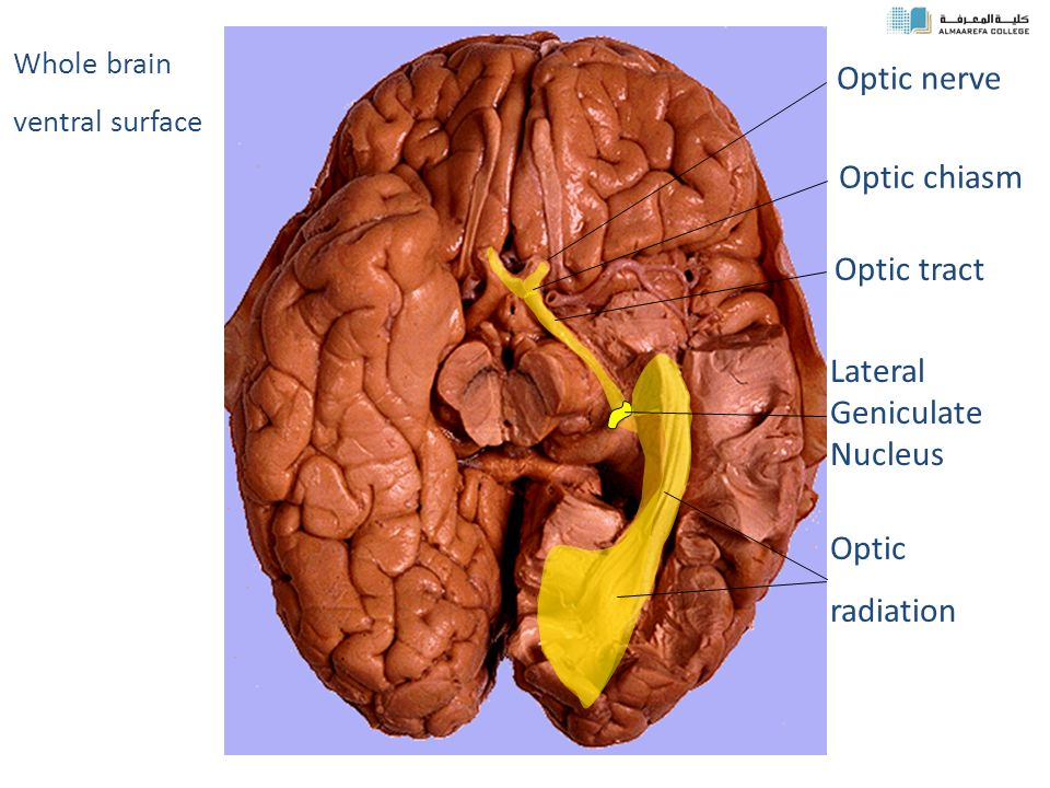 Physiology Of Vision 2 Ppt Video Online Download