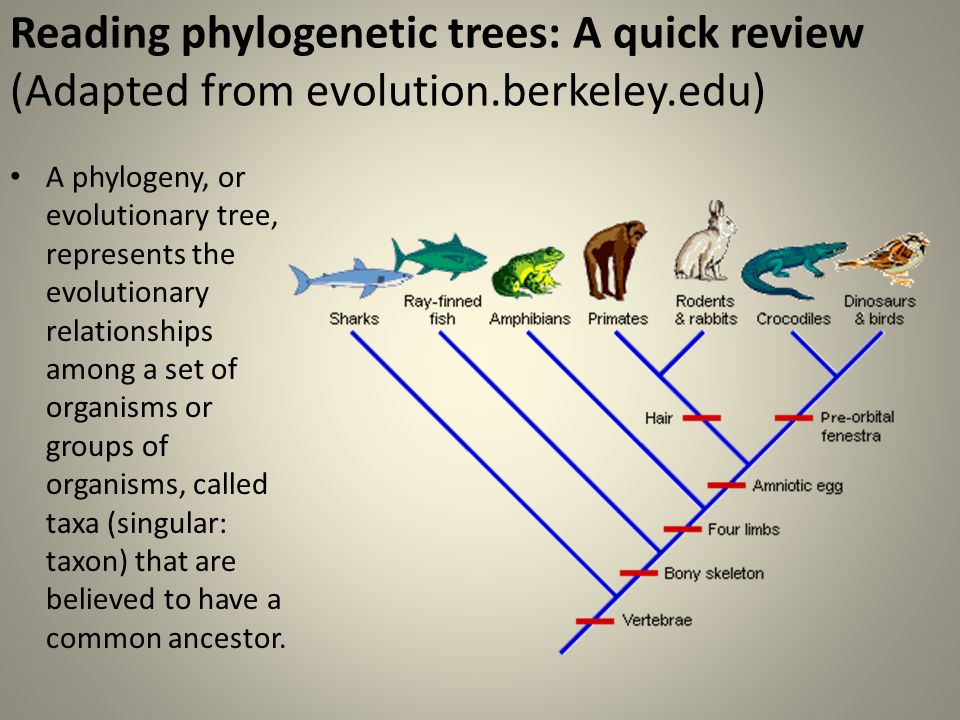 How do scientists determine the evolutionary relationship among species?