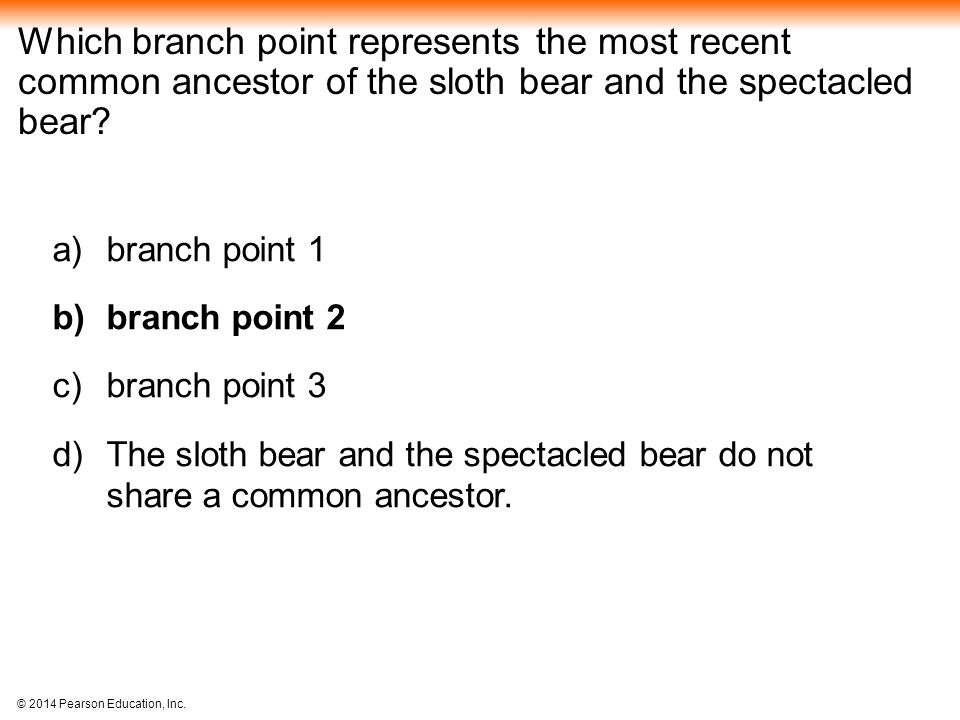 Which branch point represents the most recent common ancestor of the sloth bear and the spectacled bear