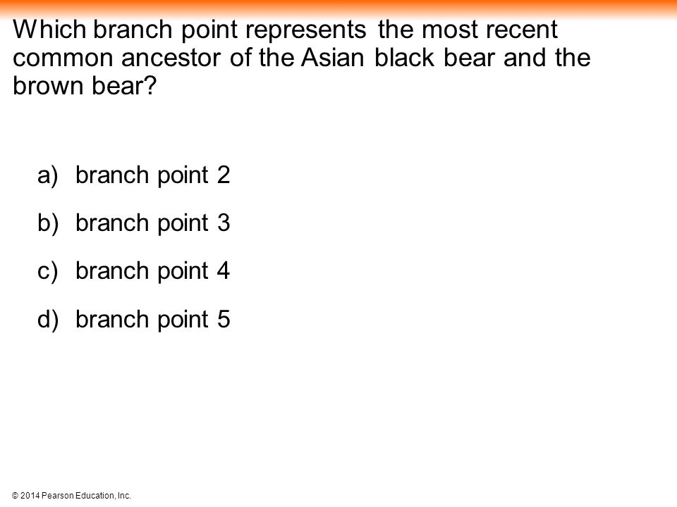 Which branch point represents the most recent common ancestor of the Asian black bear and the brown bear