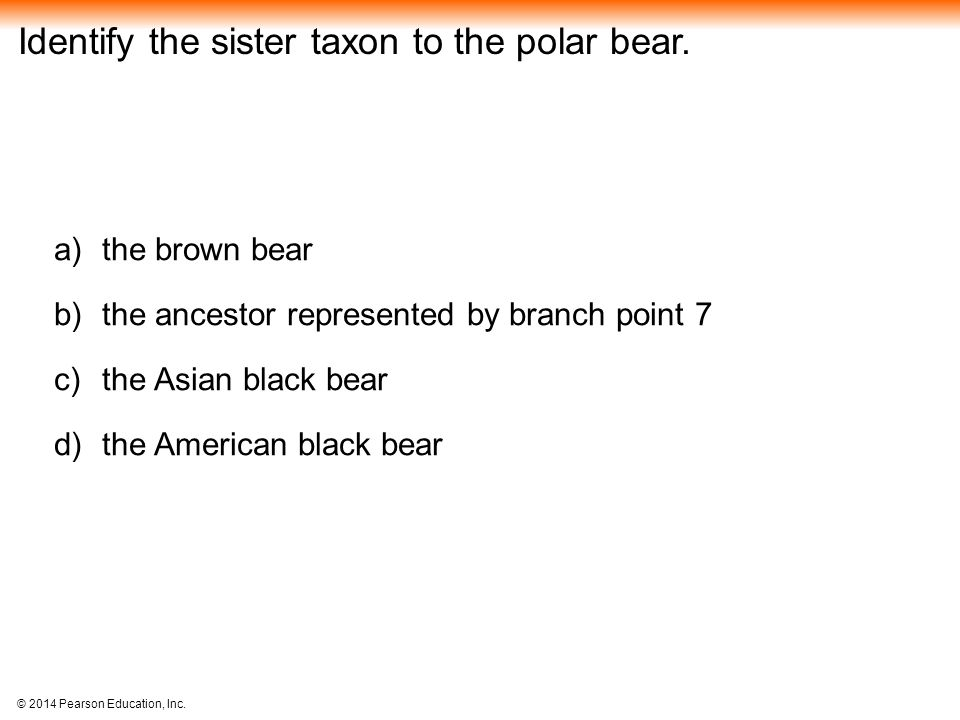 Identify the sister taxon to the polar bear.