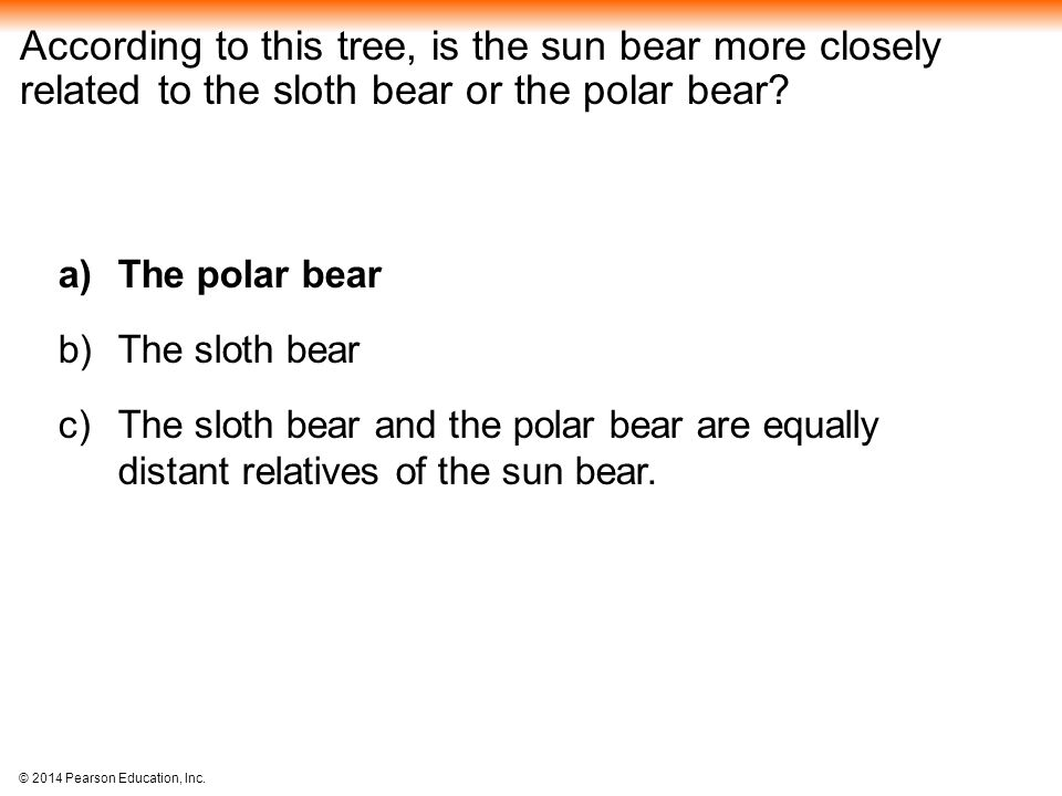 According to this tree, is the sun bear more closely related to the sloth bear or the polar bear