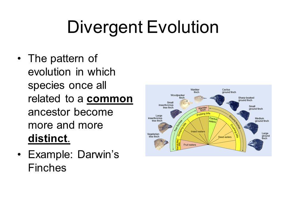 Divergent Evolution The pattern of evolution in which species once all related to a common ancestor become more and more distinct.