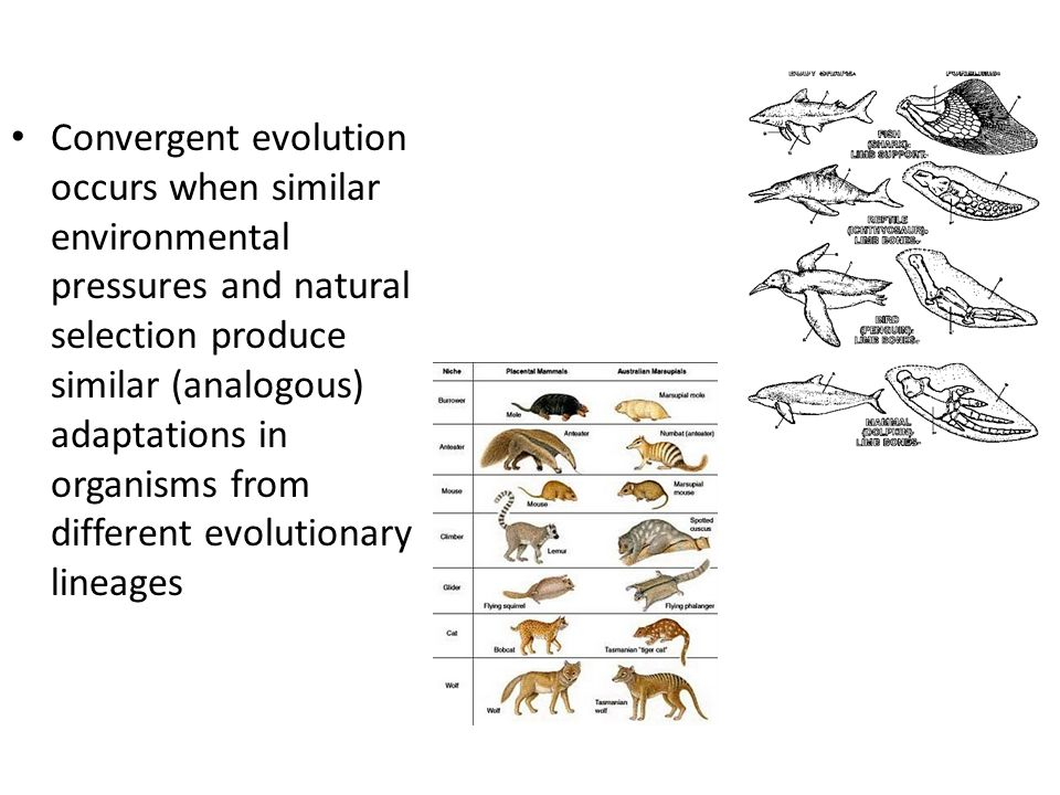 Convergent evolution occurs when similar environmental pressures and natural selection produce similar (analogous) adaptations in organisms from different evolutionary lineages