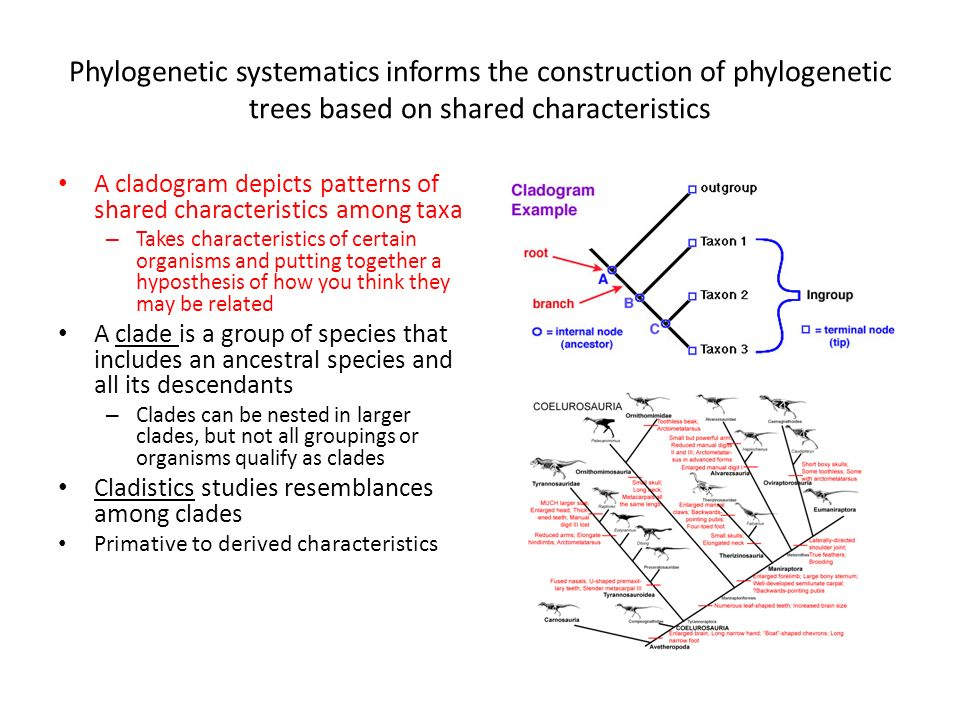 Phylogenetic systematics informs the construction of phylogenetic trees based on shared characteristics