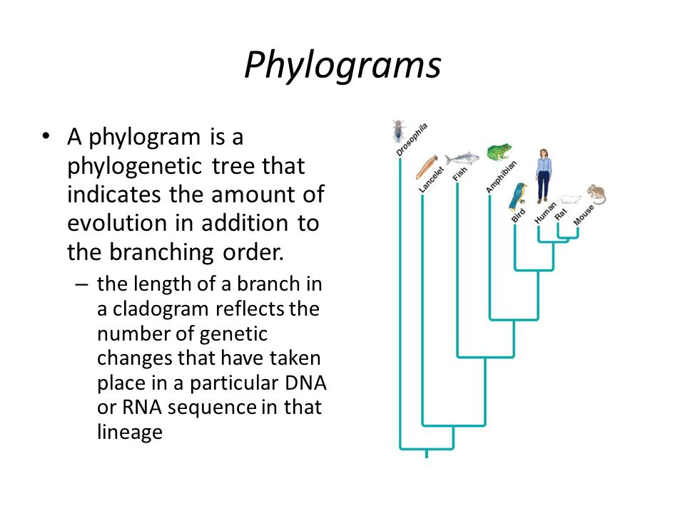 Phylograms A phylogram is a phylogenetic tree that indicates the amount of evolution in addition to the branching order.
