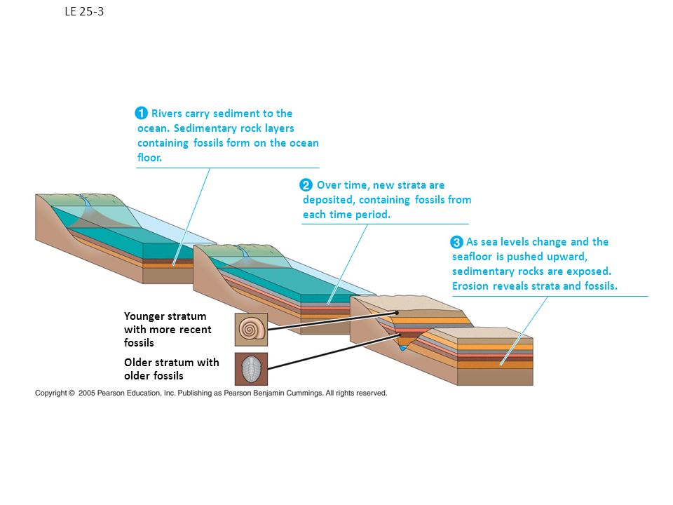 LE 25-3 Rivers carry sediment to the ocean. Sedimentary rock layers containing fossils form on the ocean floor.