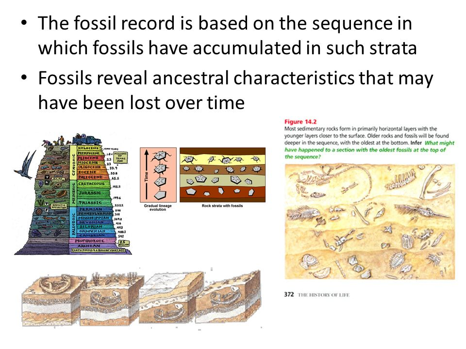The fossil record is based on the sequence in which fossils have accumulated in such strata