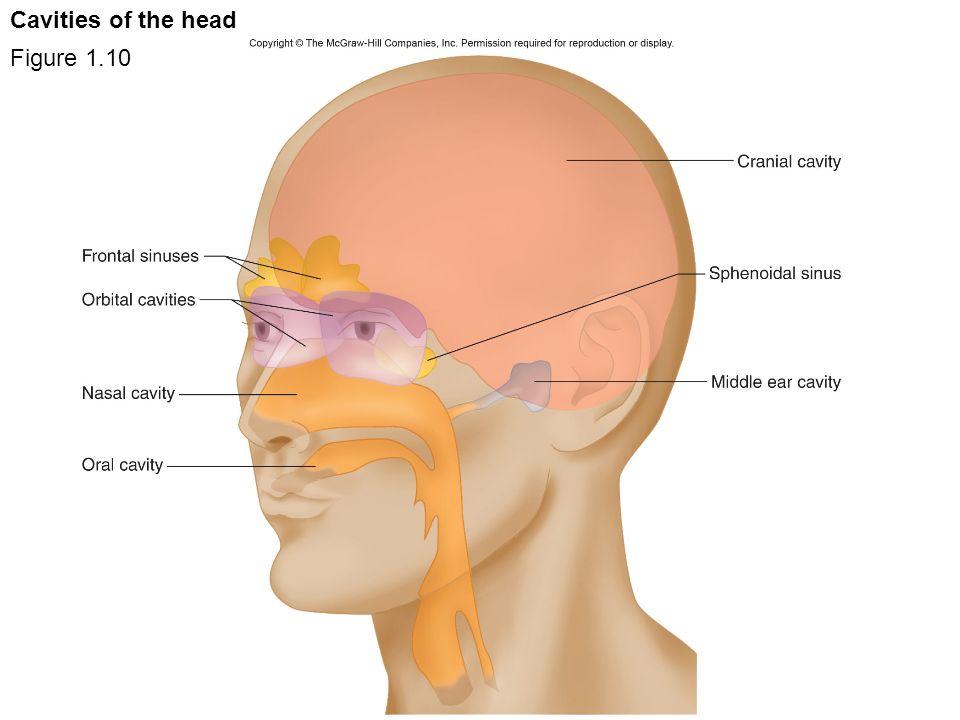 8114295 further Mediastinum And Diaphragm furthermore 9893295 moreover SerousLiningsPleuraPeritoneum also 1 Pericardium. on pleura of thoracic cavity