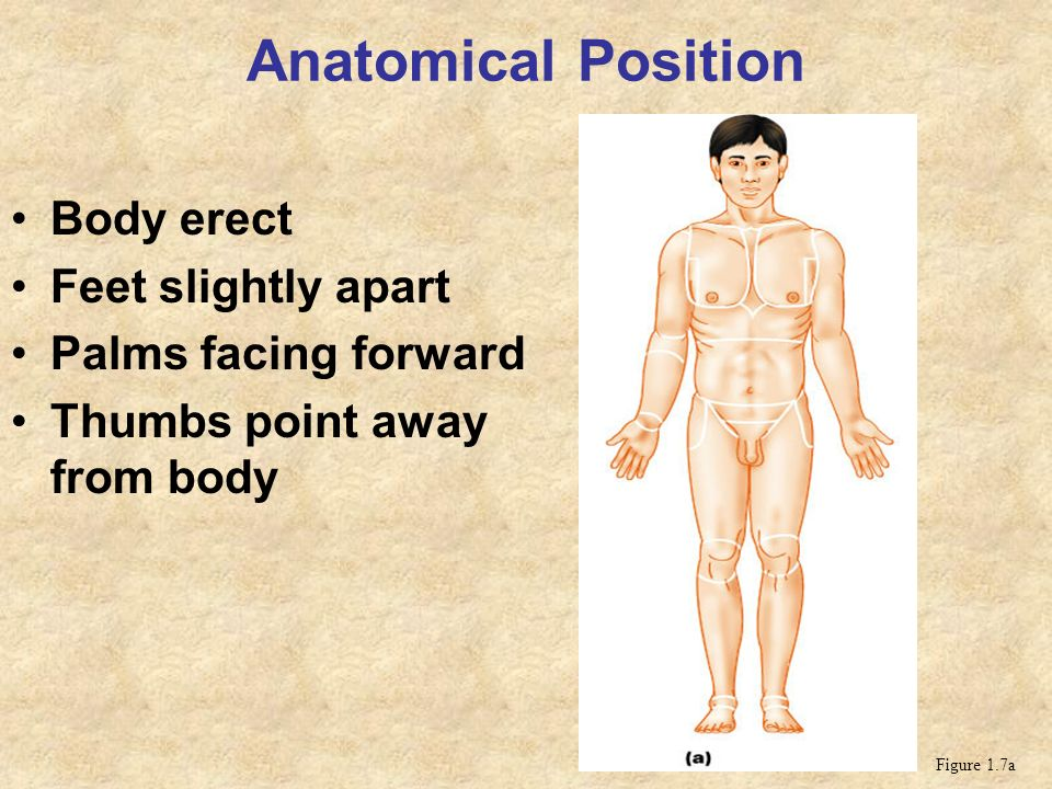 Anatomical Position Body Erect Feet Slightly Apart Ppt Video