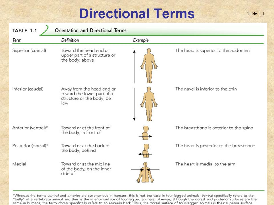 Think Science » Anatomical Position, Directional Terms, Planes