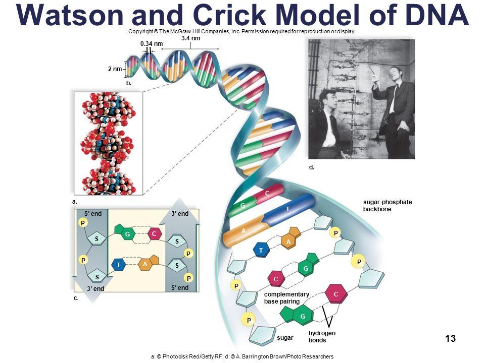 watson and crick dna model pdf