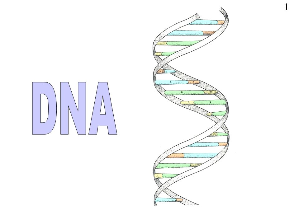 1 DNA The Illustration Is A Model Of The Double Helix Forming Part Of A DNA Molecule Slide 14