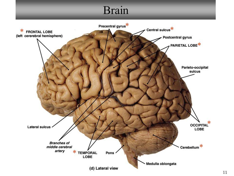 Brain Anatomy Ppt
