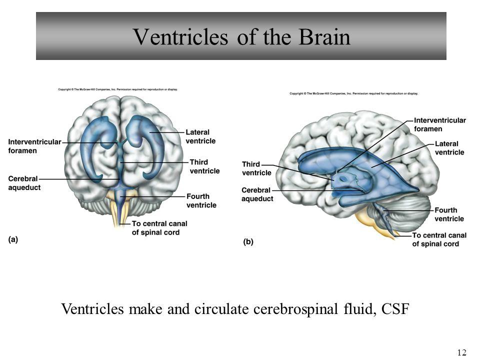 Cerebral ventricles anatomy