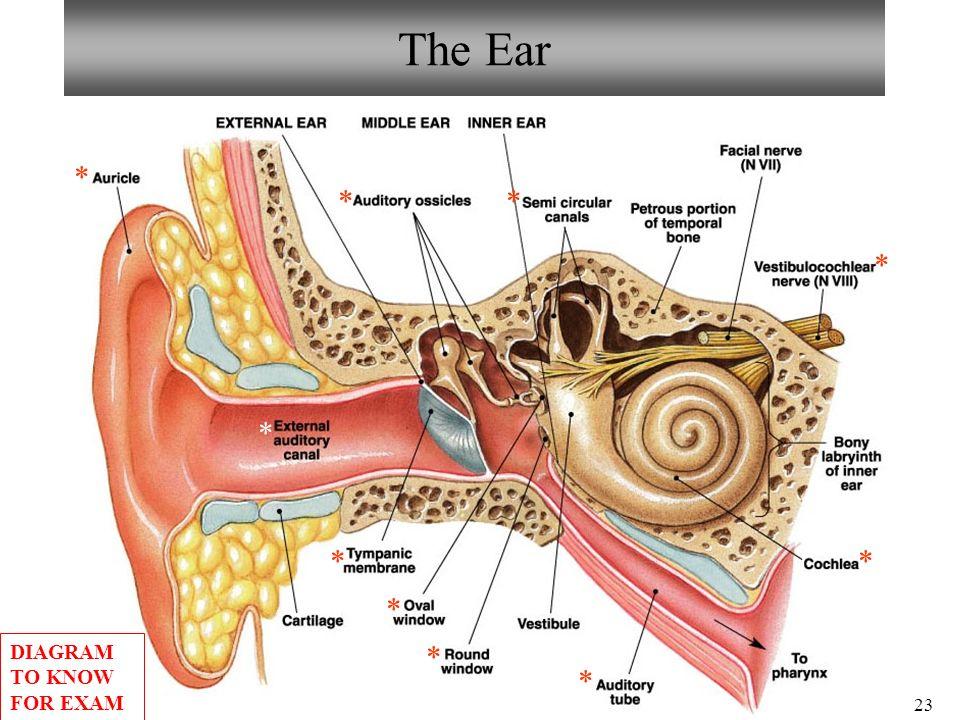 Ear anatomy diagram