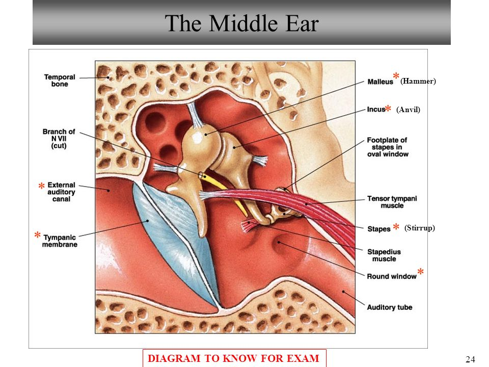 Anatomy of the ear ppt 9138599 - follow4more.info