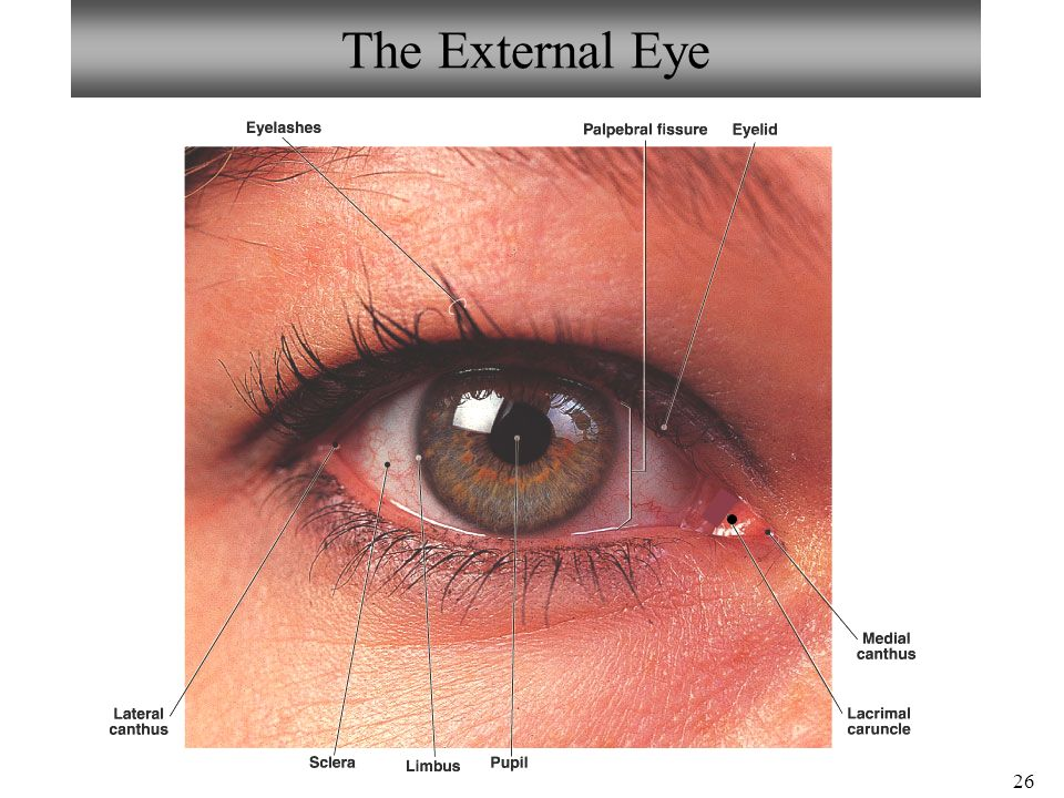 Eye Anatomy Limbus Image collections - human body anatomy