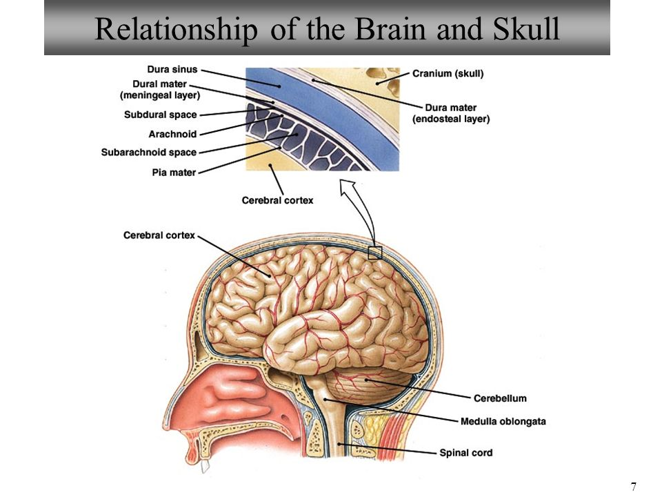 anatomy of skull and brain pdf