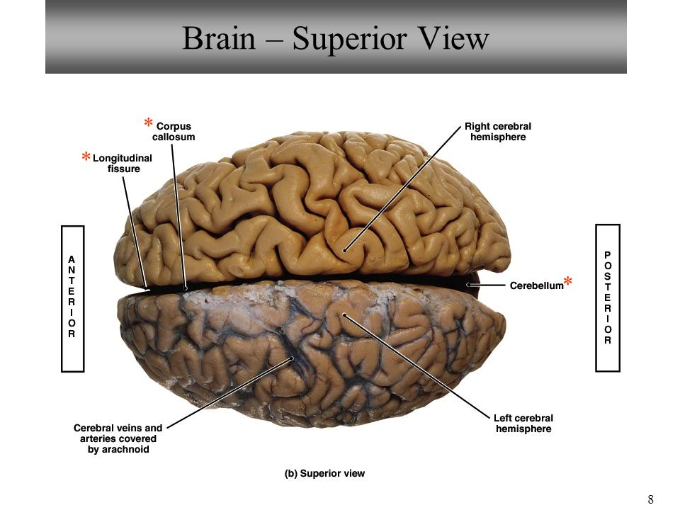 Images of Brain Superior View Labeled - #SpaceHero