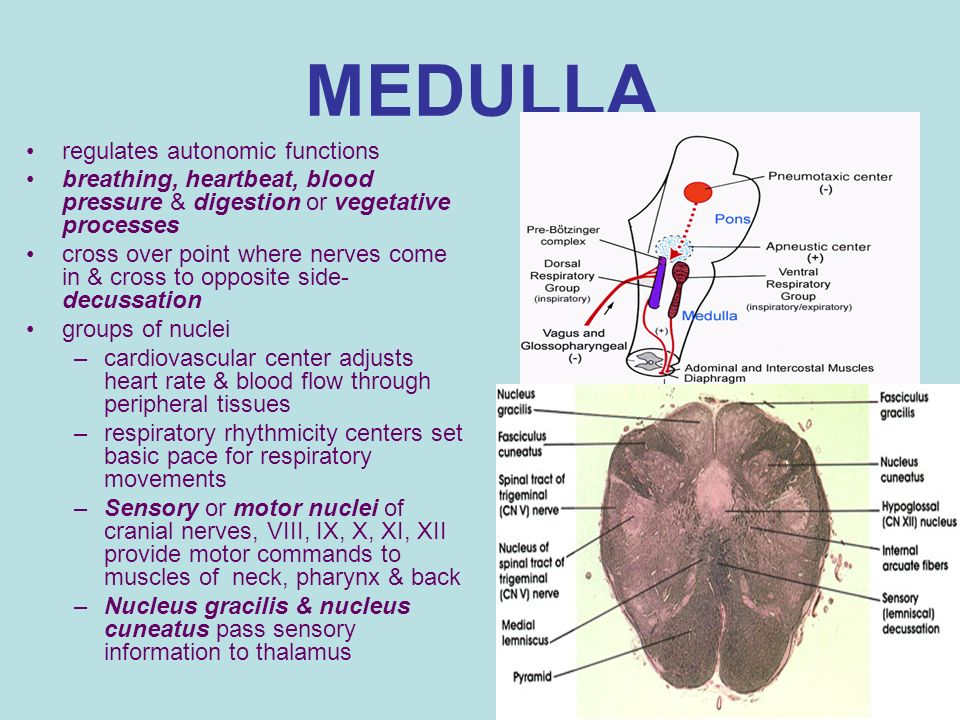 medulla oblongata function and location Olives of medulla the olives of the medulla, also known as the olivary bodies, are located on the ventral surface of the medulla oblongata of the brainstem, lateral to the medullary pyramids  the brainstem consists of the medulla , the pons and the midbrain .