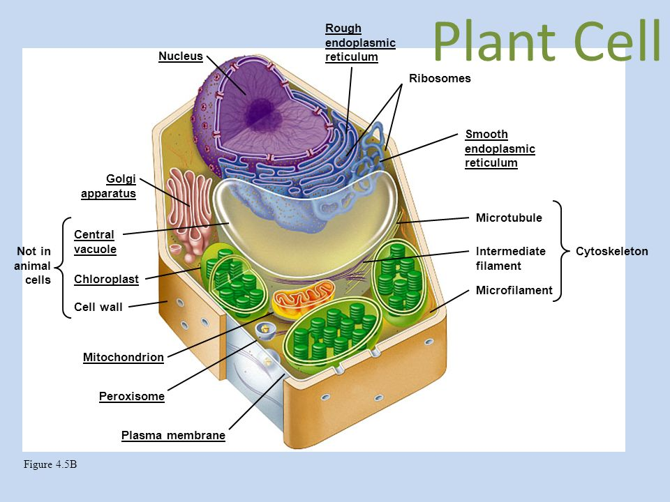 lysosome plant cell