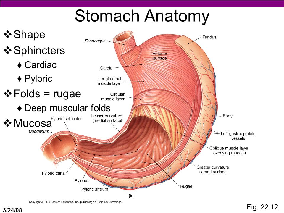 anatomy of stomach - Akba.greenw.co
