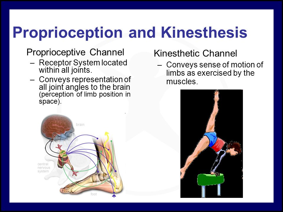 the sensory receptors for kinesthesis are located in the These receptors send sensory information to the spinal cord and then to the somatosensory cortex in the brain, which processes the information there are many touch receptors located near the surface of the skin.