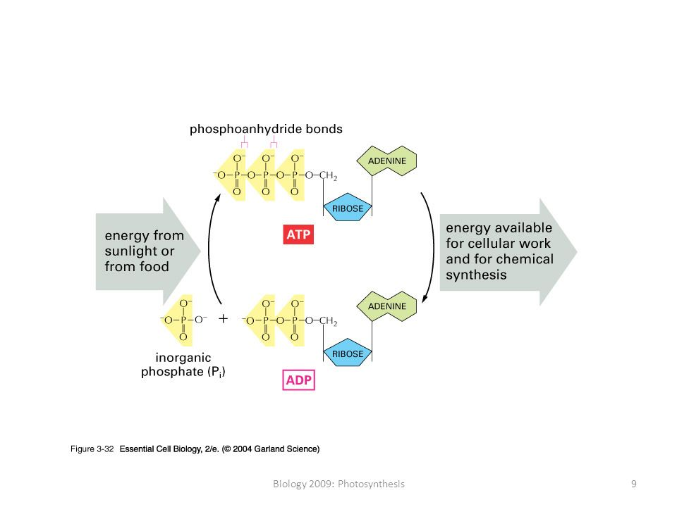 photosythesis human biology hybrid The establishment of c 4 photosynthesis ( the world of the 21st century will face massive problems in feeding the growing human.