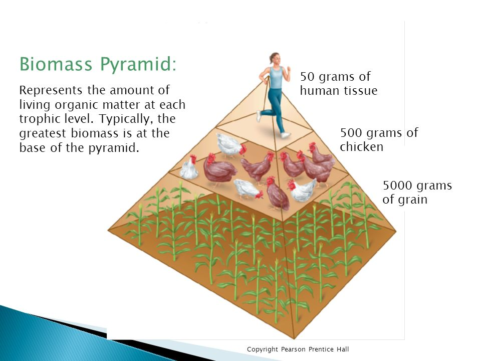 Biomass Pyramid: Represents the amount of living organic matter at each trophic level. Typically, the greatest biomass is at the base of the pyramid.