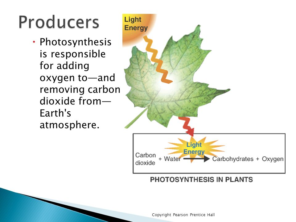 Producers Photosynthesis is responsible for adding oxygen to—and removing carbon dioxide from— Earth s atmosphere.