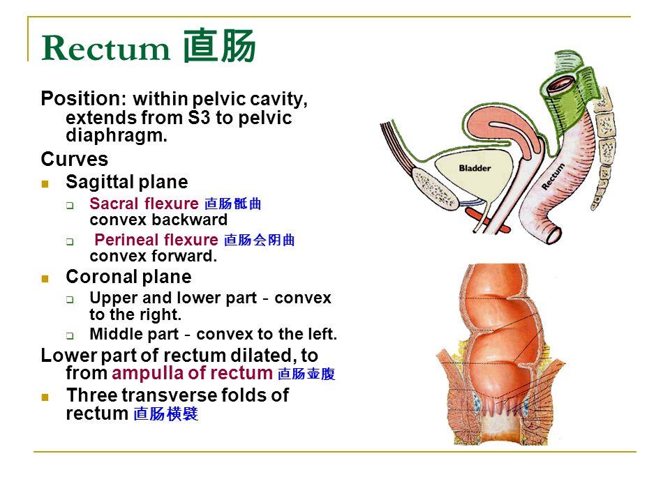 The Alimentary System 山东大学医学院 解剖教研室 李振华. - ppt download