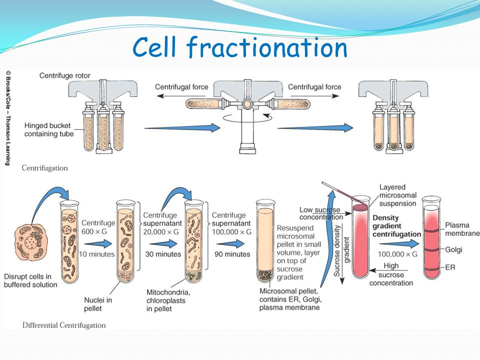 cell fractionation A diagram of cell fractionation is shown (a) label the homogenization step, and  label the contents of the sediment at each step note: if you.