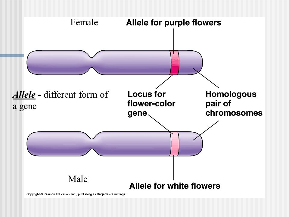 Chapter 11 - Introduction to Genetics - ppt download