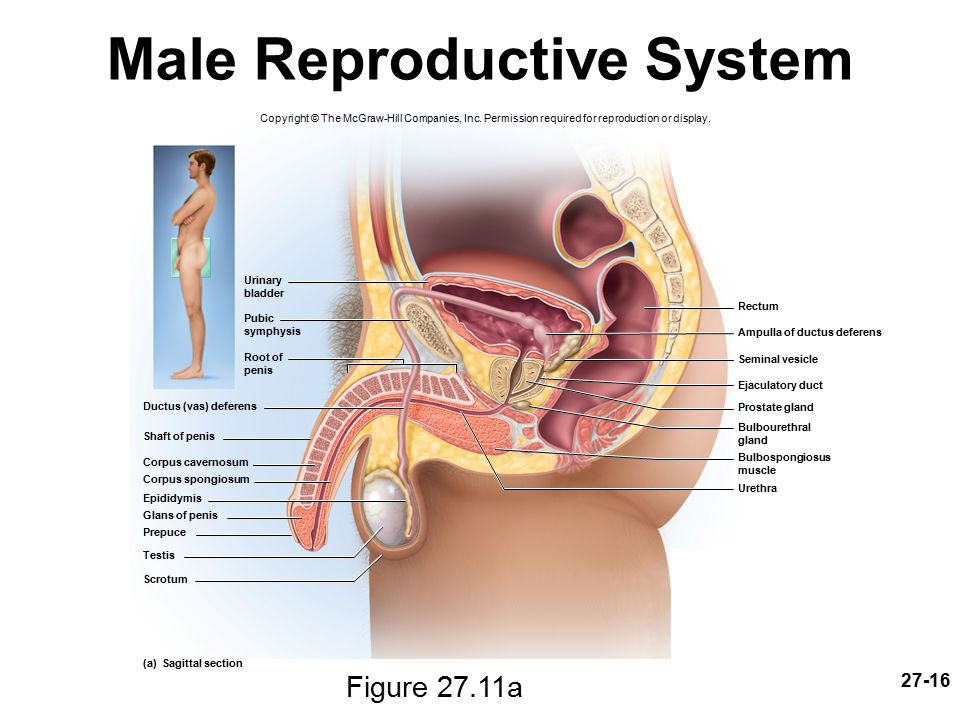 Male reproductive system vas deferens